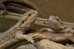 Terrario con los dragones barbudos Imagenes de archivo