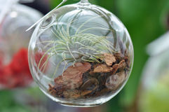 Terrario di vetro della sfera Fotografia Stock