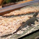 Ящерица в terrarium стоковые фото
