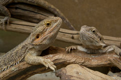 Terrarium with Bearded Dragons Stock Images
