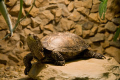 Terrarium turtle Stock Images