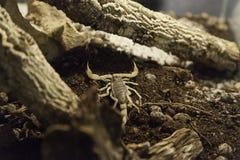 Terrarium venomous scorpion stock images