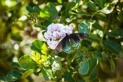 Terras de uma borboleta de Pipevine Swallowtail na flor fotos de stock royalty free
