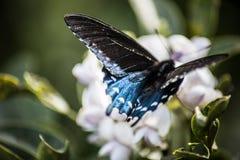 Terras de uma borboleta de Pipevine Swallowtail na flor imagens de stock royalty free