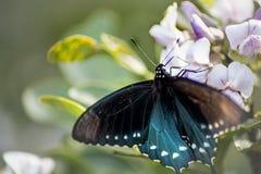 Terras de uma borboleta de Pipevine Swallowtail na flor imagens de stock