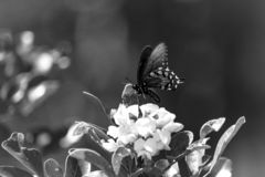Terras de uma borboleta de Pipevine Swallowtail na flor fotos de stock