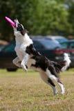 Terras do cão após ter travado o Frisbee na boca Fotografia de Stock