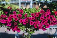 Terras hybride petunia met kleine donkerrode bloemen in een opgeschorte pot Royalty-vrije Stock Fotografie