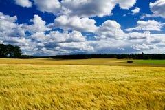 Terras maduras douradas do campo da cevada foto de stock