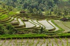 Terrases риса в Jatiluwih Стоковые Фотографии RF