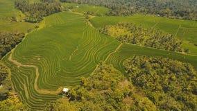 Terraspadievelden, Bali, Indonesië Stock Afbeelding