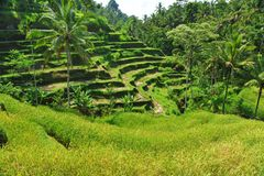 Terraspadievelden in de ochtend, Ubud, Bali royalty-vrije stock afbeelding