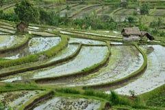 terrass för bali fältindonesia rice Arkivfoton