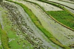 terrass för bali fältindonesia rice Royaltyfri Bild