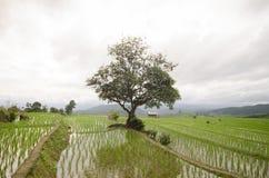 Terrasse classée par riz dans la saison de récolte Image libre de droits