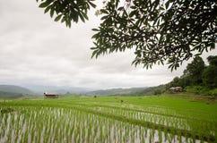 Terrasse classée par riz dans la saison de récolte Photos stock