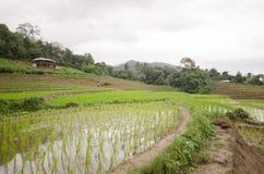 Terrasse classée par riz dans la saison de récolte Photo stock