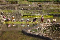 Terrasse de gisement de riz Photos stock