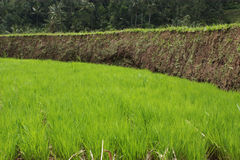 Terrasse de riz. Image stock