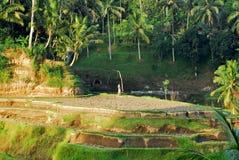 Terrasse de riz, Bali Image stock