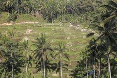 Terrasse de riz chez Tenggalalang Bali Photo stock