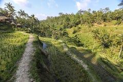 Terrasse de riz chez Tenggalalang Bali Images stock