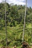 Terrasse de riz dans Bali Photo stock