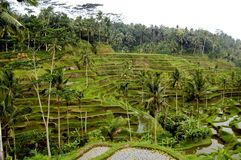 Terrasse de riz dans Bali Images stock