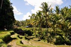 Terrasse de riz dans Bali, Indonésie Photographie stock libre de droits