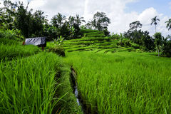 Terrasse de riz de Jatiluwih dans Bali Photo stock