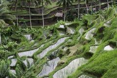 Terrasse de riz de Tegalalang photos stock