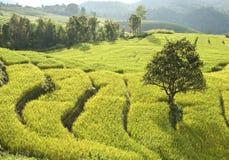 Terrasse des Reisfeldes in Thailand stockbild