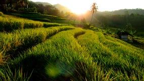 Terrassen-Reis-Feld am Nachmittag Stockfoto