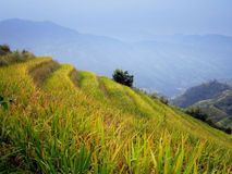 terrasser för porslinguilin rice Arkivfoton