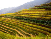 terrasser för porslinguilin rice royaltyfri bild