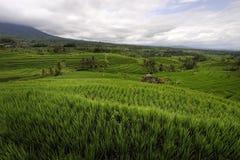 terrasser för rice för bali jatiluwih Fotografering för Bildbyråer
