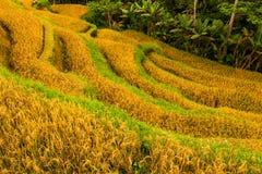 Terrassera risfält i Tegallalang, Ubud på Bali, Indonesien Royaltyfria Foton