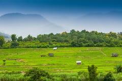 terrasserad grön rice för fält Royaltyfri Fotografi