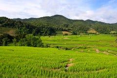Terrasserad rice sätter in i nordliga Thailand Arkivfoto