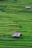Terrasserad rice sätter in i nordliga Thailand Arkivbild