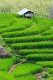 Terrasserad rice sätter in i nordliga Thailand Fotografering för Bildbyråer
