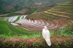 Terrasserad ricefield i vattensäsong på Mu Cang Chai, Vietnam Arkivfoto