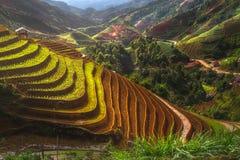 Terrasserad ricefield på den Vietnam vattensäsongen Arkivbilder