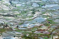 Terrasserad risfält i Kina Arkivbilder
