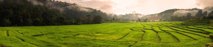 Terrasserad risfält i morgonen Arkivfoto