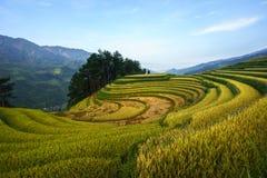Terrasserad risfält i skördsäsong i Mu Cang Chai, Vietnam Arkivbild