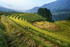 Terrasserad risfält i skördsäsong i Mu Cang Chai, Vietnam Fotografering för Bildbyråer