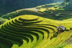 Terrasserad risfält i skördsäsong i Mu Cang Chai, Vietnam Mam Xoi populär loppdestination Royaltyfri Bild