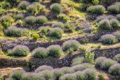 Terrasserade fält av lavendel Royaltyfri Bild
