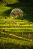 Terrasserade fält med trädet royaltyfria bilder